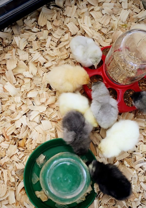 The first things we learned raising baby chicks