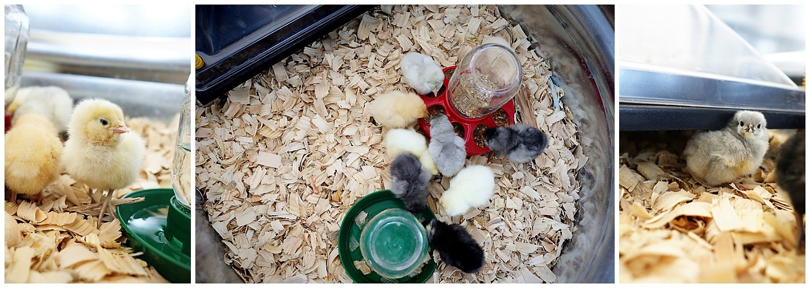 What we learned raising baby chicks